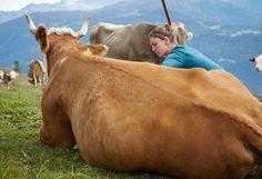 Einsatz auf der Alp: Leichter Job? Knochenarbeit!