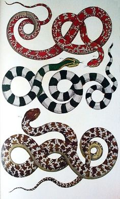 "Albertus Seba snake illustration from his ""Cabinet of Natural Curiosities"" - a book to be coveted for sure! Ernst Haeckel, Oroboros Tattoo, Botanical Illustration, Illustration Art, Vintage Illustrations, Petit Tattoo, Snake Art, Snake Drawing, Natural Curiosities"