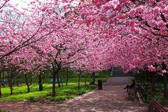 Sakura no Brasil: saiba onde e quando encontrar