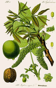 """Antique illustration of a Medicinal and Herbal Plants. illustration was published in 1892 """"Medicinal Plants of the cm) Fine Art Print Framed, Poster, Canvas Prints, Puzzles, Photo Gifts and Wall Art Vintage Botanical Prints, Botanical Drawings, Botanical Art, Nature Illustration, Antique Illustration, Botanical Illustration, Herbal Plants, Medicinal Plants, Impressions Botaniques"""