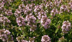 Materina dúška na poli Plants, Pulley, Planters, Plant, Planting