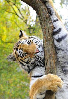 Siberian Tiger Vogue by Guido Wacker
