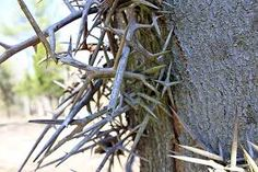 Image result for thorn tree decorations