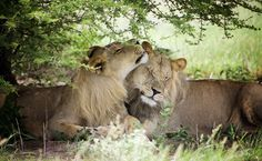 U.S. Hunters Can't Import Trophies From Canned Lion Hunts Anymore