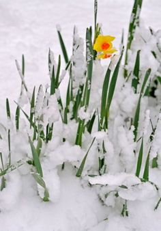 Daffodil in snow - Spring is trying to make an appearance!