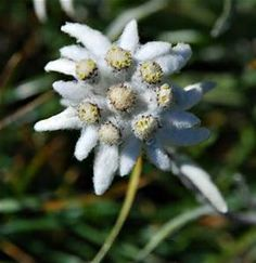 edelweiss flowers - Bing Images