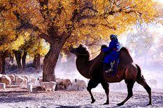 内蒙古额济纳旗二道桥胡杨林羊群;China Eji'na 2nd bridge Populus euphratica trees sheep by hcchoo