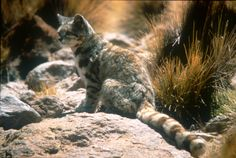 The Andean mountain cat is a small wild cat. It is one of only two felids for which no subspecies have been classically described. Fewer than 2,500 individuals are thought to exist.