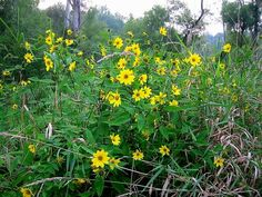 Small Woodland Sunflower (Helianthus Microcephalus) http://www.sagebud.com/small-woodland-sunflower-helianthus-microcephalus