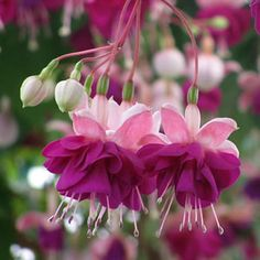 Fuchsia Parliament (Fuchsia x hybrida) is a medium bushy Fuchsia that is suitable for baskets. The large double flowers are borne on this beautiful plant Shade Garden, Garden Plants, Bright Pink, Pink Purple, Deep Purple, Fuchsia Flower, Fuchsia Plant, Purple Flowers, Beautiful Gardens
