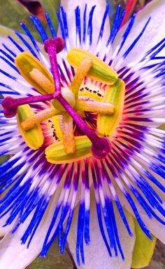 Passion Flower - Color
