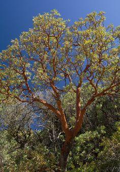 Arizona Madrone, Rincon Mountains, AZ