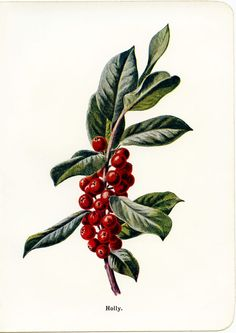 The Old Design Shop: holly and berries