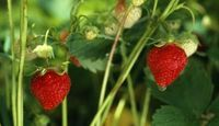 How to plant Strawberries in AZ