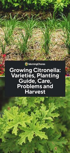 Growing Citronella: Varieties, Planting Guide, Care, Problems and Harvest Small Flowering Plants, Real Plants, Cintronella Plant, Citronella Plant Care, Planting Seeds, Planting Flowers, Seed Raising, Snake Plant Care, Citronella Essential Oil