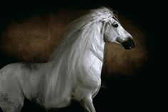 Templado is a white stallion, 18 years old, one of the most beautiful horses in the world.