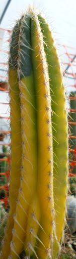 Cephalocereus palmeri variegata   Cactus King