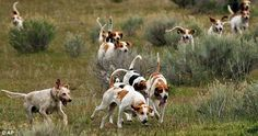 red fox running from dogs | ... fox and is regularly able to outrun the hounds running at speeds of up