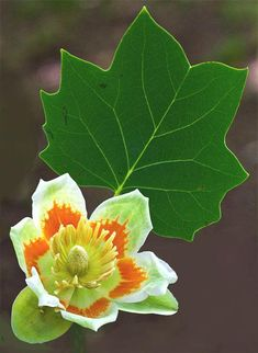 Tulip tree flowers (Liriodendron tulipifera) are excellent nectar sources for hummingbirds and honey bees. We have many, many tulip trees (yellow poplars) in Columbia, and the petals are all over the ground in late May. Trees And Shrubs, Flowering Trees, Trees To Plant, Plant Leaves, Exotic Flowers, Tropical Flowers, Wild Flowers, Beautiful Flowers, Garden Trees