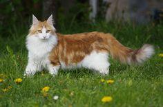 norwegian forest cat | Cat Pictures: Norwegian Forest Cat