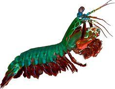 NadilynBeato 9 3 Peacock-Mantis-Shrimp ...