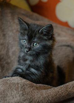 fluffy seven week old black kitten