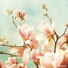 I love Magnolias. They look like lotus flowers on trees.