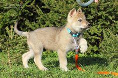 czechoslovakian vlcak puppy