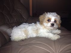 Cavachon, a cross between the Cavalier King Charles Spaniel and the Bichon Frise.