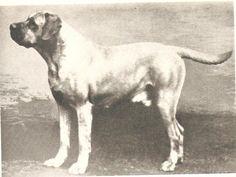 Bullmastiff Moseley's CH. Farcroft Finality Circa 1928