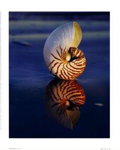 Tiger Nautilus