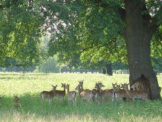 Bushy Park Teddington, UK