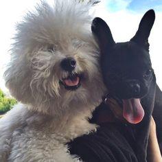 'Blackjack' the French Bulldog Puppy and a Bijon Friseé.