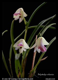 Polystachya vulcanica. A species orchid (color)