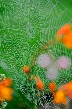 spider season | Flickr - Photo Sharing! Spider Silk, Spider Art, Spider Webs, Itsy Bitsy Spider, Charlottes Web, Silk Art, Amazing Spider, Nature Photos, Amazing Nature