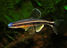 An attractive fish species endemic to Gulf Coast drainages in the USA, the Bluenose Shiner (Pteronotropis welaka) was last assessed as Data ...