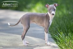 Italian Greyhound puppy professional pictures. #photography Phillipa Fiona Thing McCain