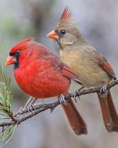 Cardinals, male and female