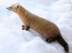 The sable (Martes zibellina) is a species of marten Pine Marten, Nature Animals, Wild Animals, Travelogue, Us Images, Polar Bear, Wildlife, Adventure, Photography