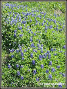 The Texas Bluebonnet