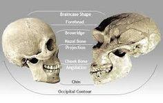 Comparación de una cráneo humano a un cráneo neanderthalensis.