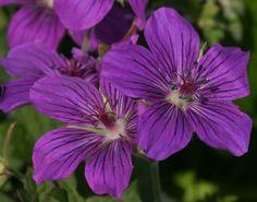 GERANIUM wlassovianum - Storkenæb, farve: mørk lilla, lysforhold: sol/halvskygge, højde: 30 cm, blomstring: juli - august, god til bunddække, god til bier og andre insekter.