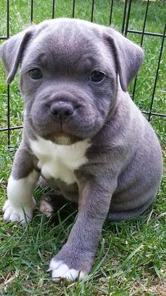 Staffordshire Bull Terrier is a medium sized English dog breed.Staffordshire Terriers are loyal,intelligent and fearless dogs.Stafforshire Bull Terriers with their loving and cheerful personalities are ranked as 2nd best dog breed for people suffering from anxiety.