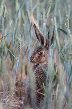 """Hiding in a field in the countryside Farm Photography, Wildlife Photography, Animal Photography, Rabbit Art, Pet Rabbit, Animal Magic, British Wildlife, Beautiful Nature Wallpaper, A Level Art"