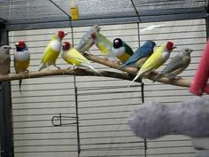 Gardeness Gardens & Aviaries - Lady Gouldian Finches