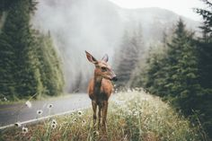 Deer in Olympic National Park, Washington State, USA - Photography by Dylan Furst Beautiful Creatures, Animals Beautiful, Cute Animals, Beautiful Cats, Animal Photography, Nature Photography, Camping Photography, Adventure Photography, Landscape Photography