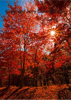 Scarlet Red Autumn Trees in Sunshine Fine by PhotosbyJerryCowart, $33.50