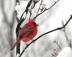 red brilliance in winter white