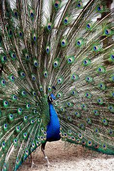 peacock display | bird photography #peafowl