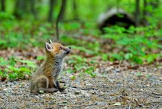 Is There Anyone Up There - Fox Kit, taken at the Great Swamp, New Jersey.
